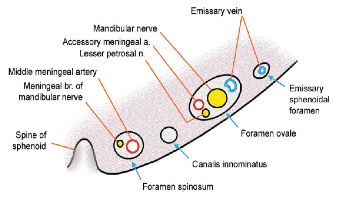 Jcdr Foramen Ovale Foramen Spinosum Canalis Innominatus